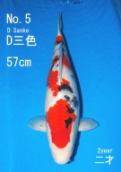 Sakai Fish Farm Taisho Sanshoku 57cm 2years old Female