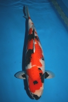 Tamaura Fish Farm Showa Sanshoku 60cm 2years old Female