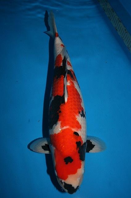 Showa sanshoku nishikigoi koi japanese for Female koi fish